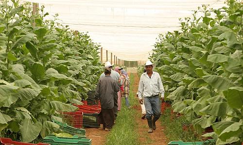 Выращивание табака фото 78
